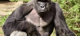 辛辛那提動物園爲救孩子殺死大猩猩
