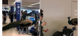 唔係啩!? 孔雀都可以帶上飛機?